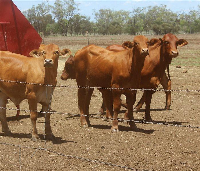 300 Droughtmaster X Charolais Heifers