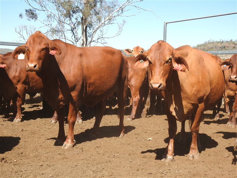 57 MSA  Droughtmaster Cows