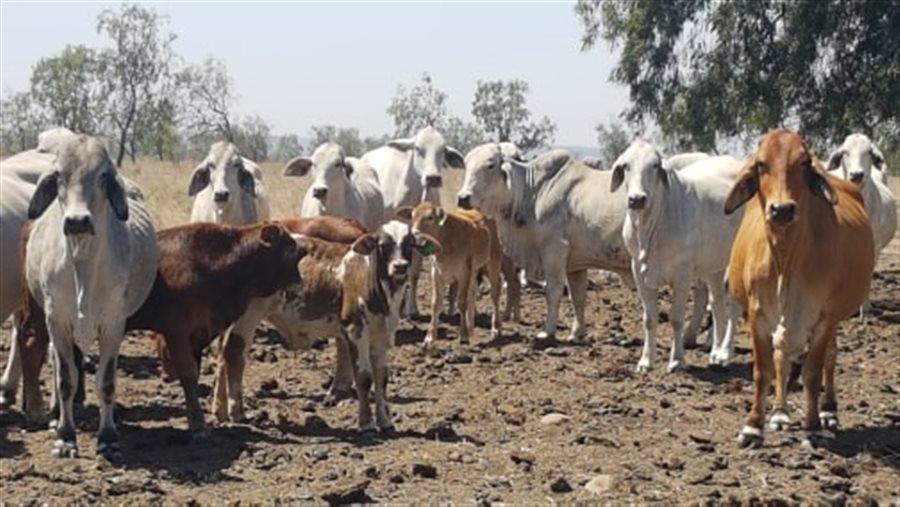 700  Brahman X Charbray Cows
