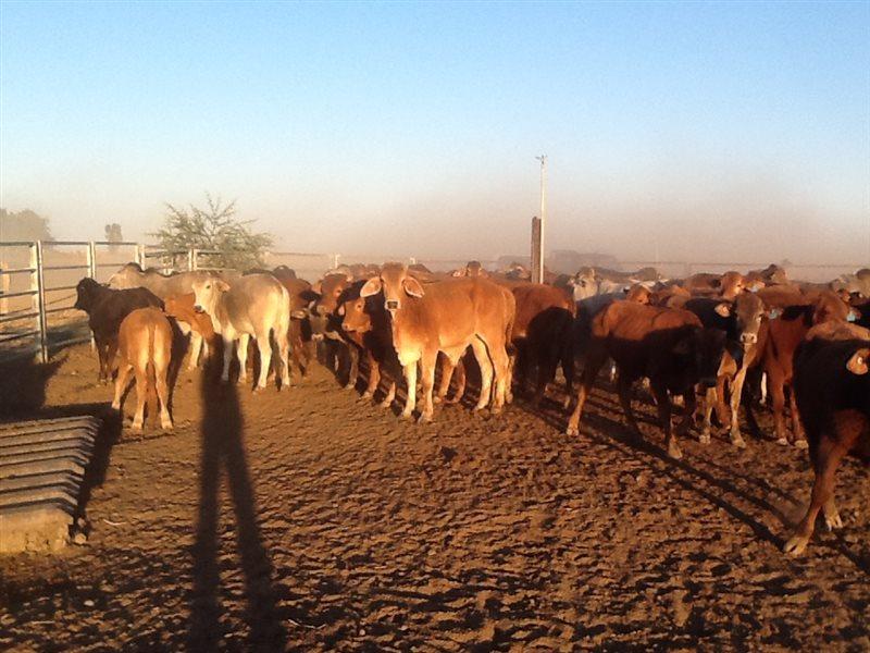 120 Droughtmaster X Brahman Steers