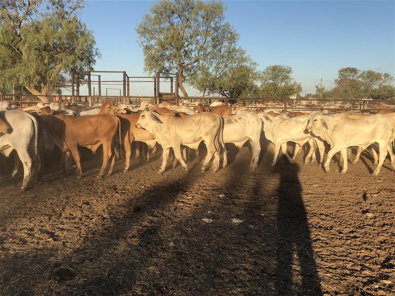 116 Brahman Steers