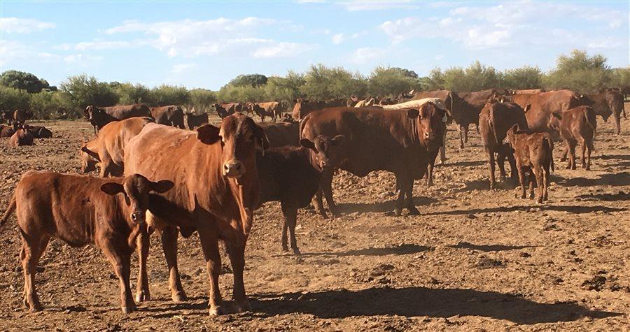 506 Santa Gertrudis X Cow and Calf Units