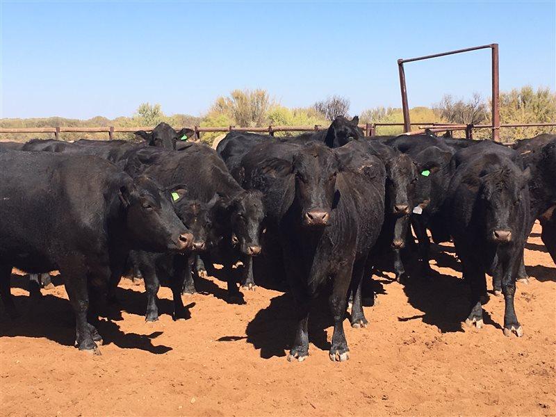 130 Angus X Charolais Cows
