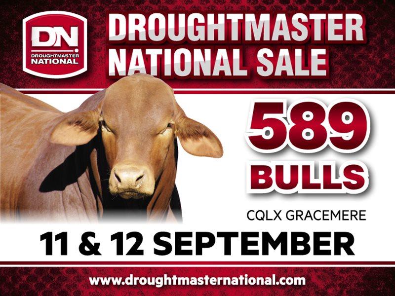 589 Droughtmaster Bulls