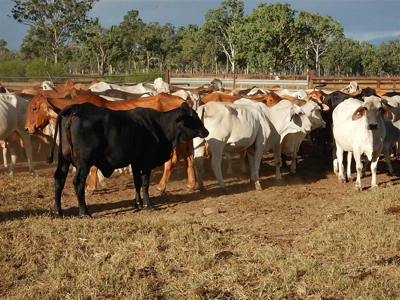 464  Brahman X Brangus Cows & Calves