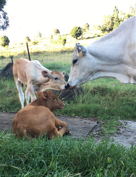 5  Chianina Heifers