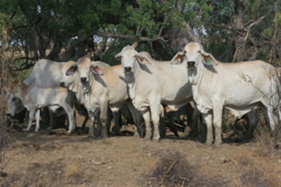 11 Brahman Heifers