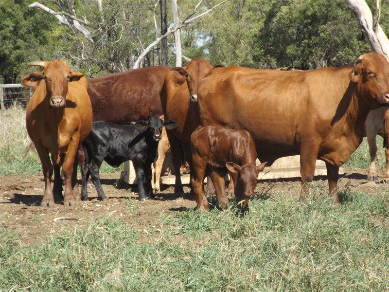 140 Santa Gertrudis X Droughtmaster Cows & Calves