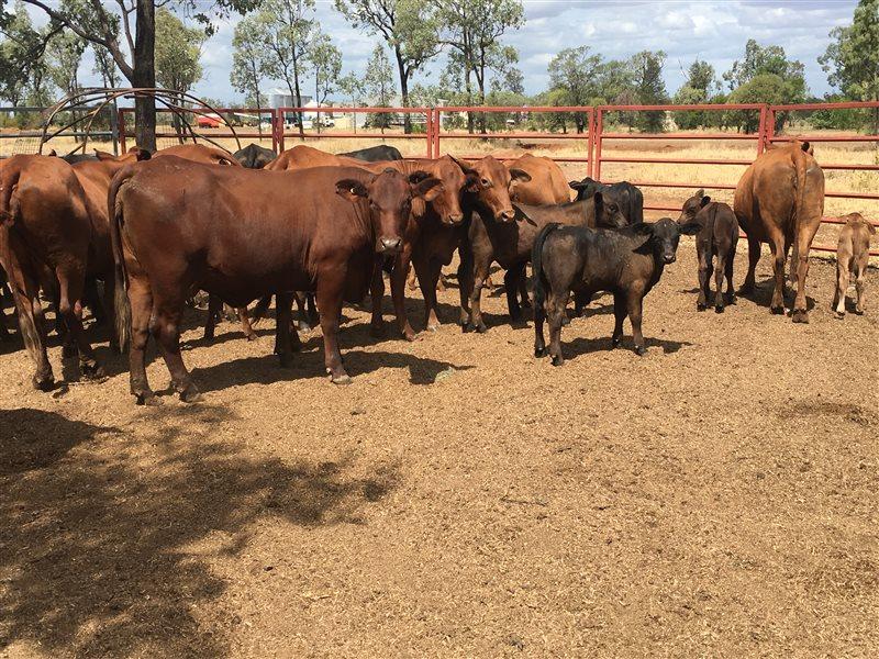 150  Santa Gertrudis X Cows & Calves