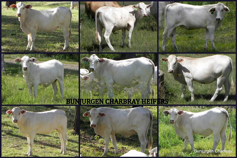 11  Charbray Heifers