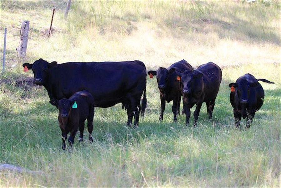5  Angus Cows & Calves