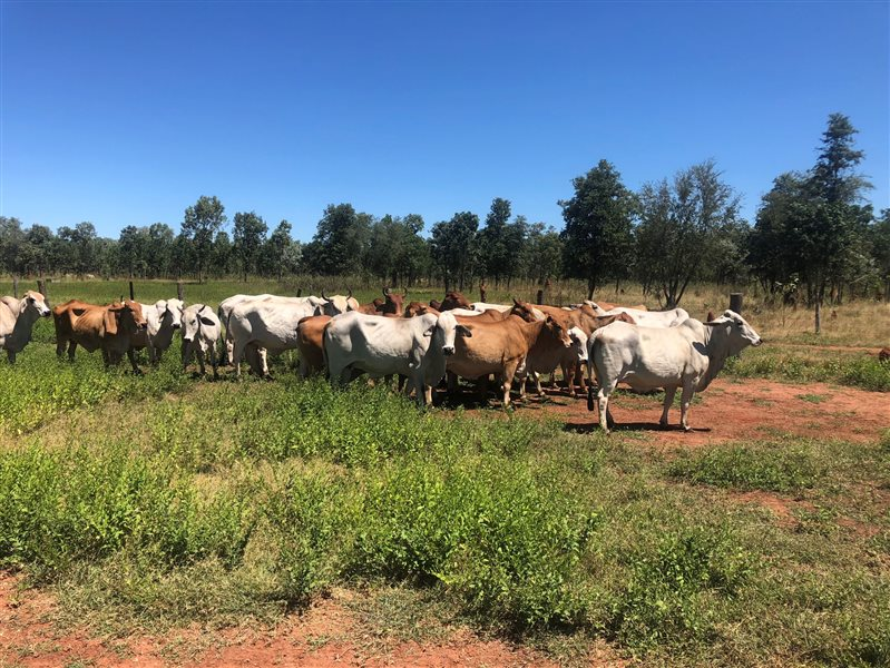 28  Brahman Cows