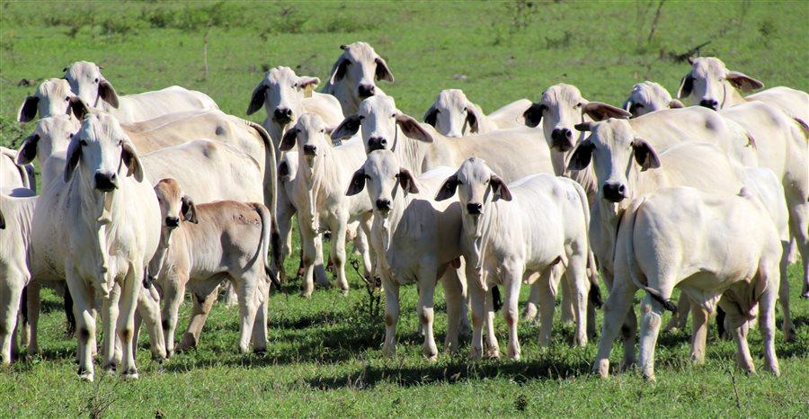 370  Brahman Cows & Calves