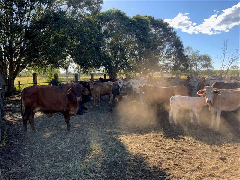224  Brangus X Brahman Cows & Calves