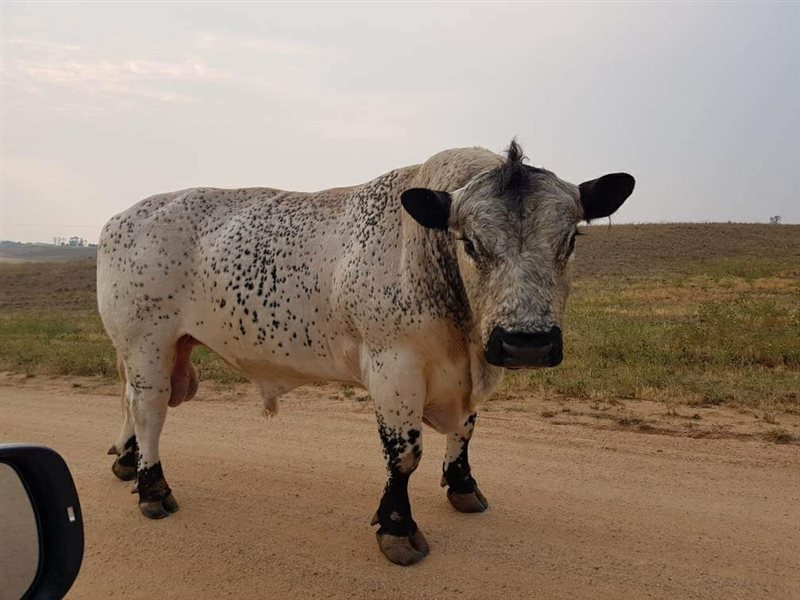 1  Speckle Park Bull