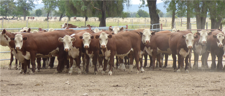 32  Hereford Steers