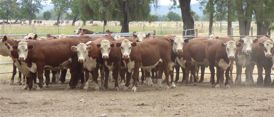 32  Hereford Steers