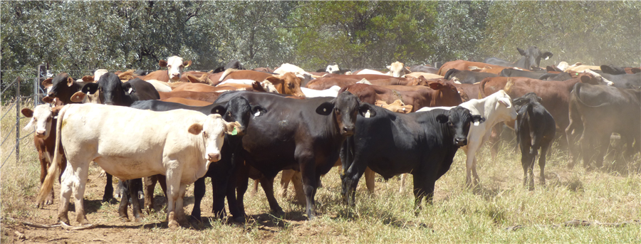 280  Droughtmaster X Weaners