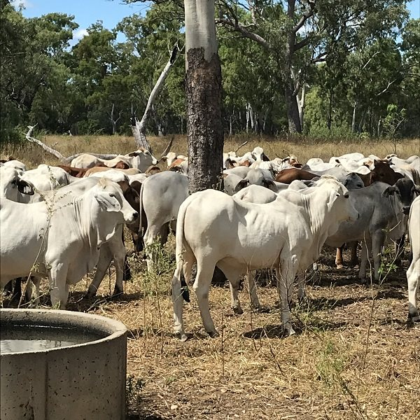 108  Brahman Steers