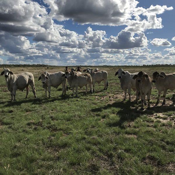 400  Brahman Steers