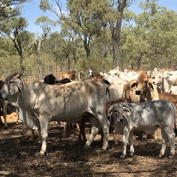 1990  Brahman Cows & Calves