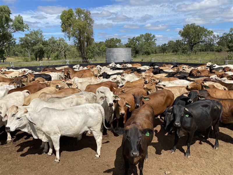 225  Brahman Cows