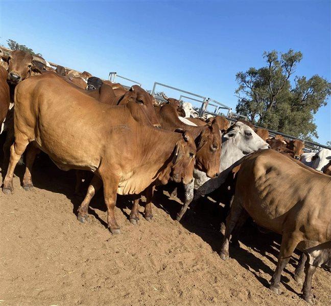 220  Brahman Cows