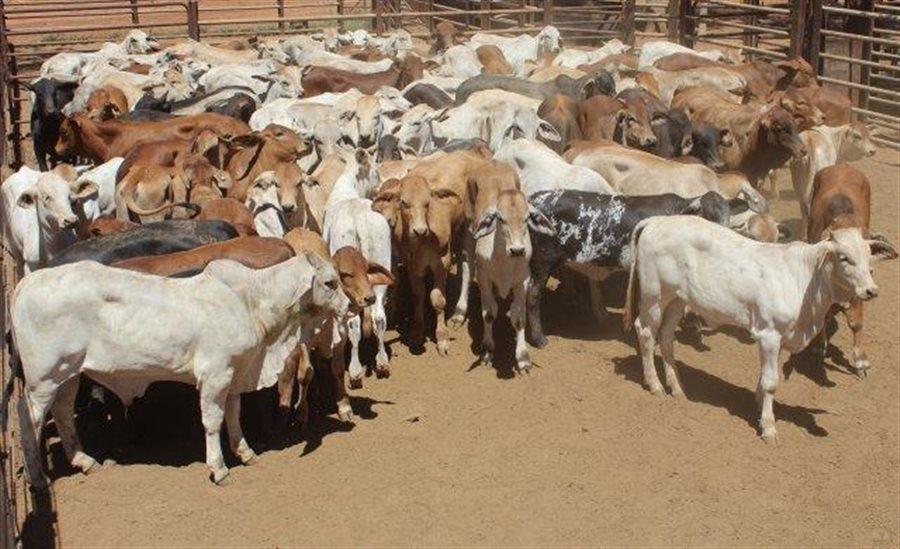 100 Organic  Brahman X Cows & Calves