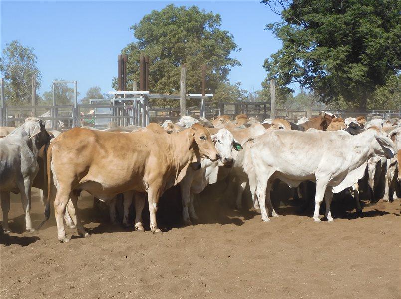 67  Brahman Cows