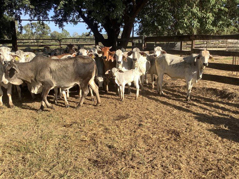 48  Brahman Heifers