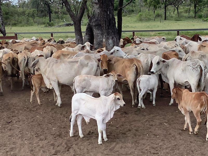 140  Brahman Cows & Calves