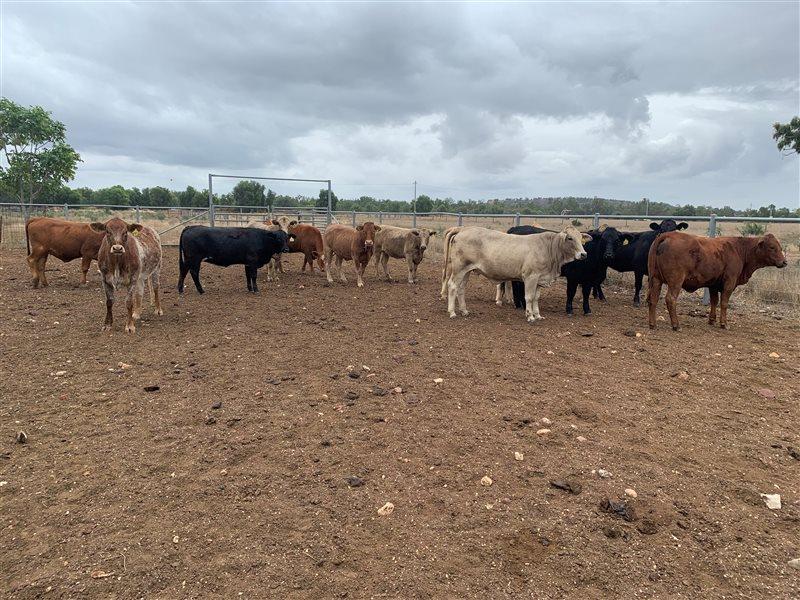 24  Teys Australia Grasslands/MSA  PTIC Angus X Charbray Heifers
