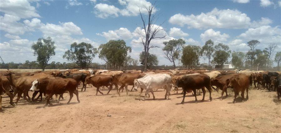 140  Belmont Red X Brahman Cows