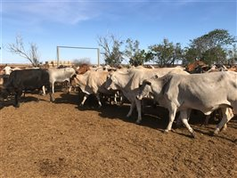 264 Droughtmaster X Charbray Cows