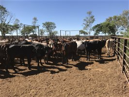 120  Brangus X Charbray Heifers