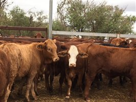 134 Simmental X Red Angus Heifers