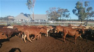 170 EU  Brahman X Belmont Red Heifers